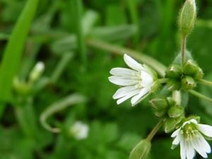 chickweed-flower